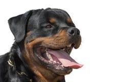 Cão de Rottweiler, isolado, língua do close-up que pica para fora imagens de stock