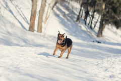Cão de Ruuning Imagens de Stock Royalty Free