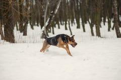 Cão de Ruuning Imagem de Stock