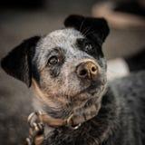 Cão de sal Fotografia de Stock Royalty Free