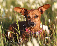 Cão de salsicha com orelhas engraçadas Imagens de Stock Royalty Free
