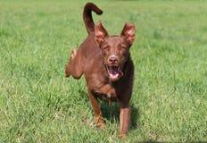Cão de salto Imagem de Stock Royalty Free