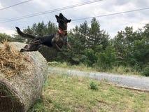 Cão de salto fotos de stock