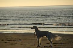Cão de Saluki na praia Imagens de Stock