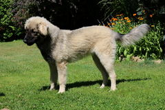 Cão de Sarplaninac Fotografia de Stock