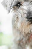 Cão de Schanauzer fotografia de stock