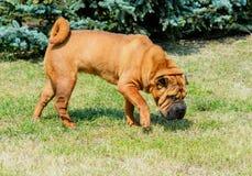 Cão de Shar-pei fotos de stock royalty free