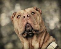 Cão de Shar Pei foto de stock