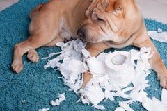 Cão de Sharpei Foto de Stock Royalty Free