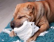 Cão de Sharpei fotografia de stock