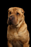 Cão de Sharpei isolado no fundo preto Imagem de Stock Royalty Free