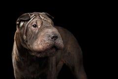 Cão de Sharpei isolado no fundo preto Fotos de Stock Royalty Free