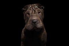 Cão de Sharpei isolado no fundo preto Imagens de Stock