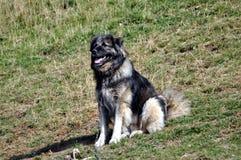 Cão de Sharplaninac imagem de stock