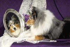 Cão de Sheltie que olha em um espelho Fotos de Stock