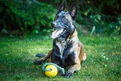 Cão de Shepdog do belga, descansando na terra com um brinquedo fotografia de stock royalty free