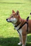 Cão de Shiba Imagens de Stock Royalty Free