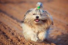 Cão de Shih Tzu imagem de stock