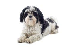 Cão de Shih-tzu Foto de Stock