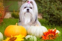 Cão de Shih Tzu Foto de Stock