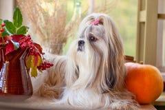 Cão de Shih Tzu Fotografia de Stock