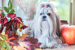 Cão de Shih Tzu Foto de Stock Royalty Free