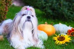 Cão de Shih Tzu Fotos de Stock