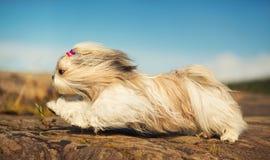 Cão de Shih Tzu imagens de stock royalty free