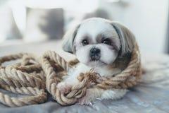 Cão de Shih Tzu fotos de stock royalty free