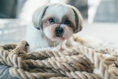 Cão de Shih Tzu imagem de stock royalty free