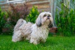 Cão de Shih Tzu imagens de stock