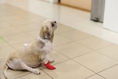 Cão de Shih Tzu com a atadura no hospital fotografia de stock royalty free