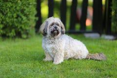 Cão de Shih Tzu do puro-sangue Imagens de Stock