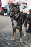Cão de Shikoku Fotografia de Stock Royalty Free
