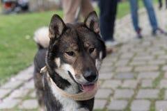 Cão de Shikoku Imagens de Stock