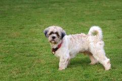 Cão de Shitzu Foto de Stock Royalty Free