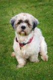 Cão de Shitzu Fotografia de Stock