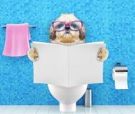 Cão de Shitzu que senta-se em um assento da sanita com o compartimento ou o jornal da leitura dos problemas ou da constipação da  foto de stock