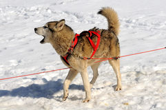 Cão de sledge do descascamento Foto de Stock Royalty Free