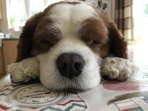 Cão de Snoozy Alfie imagem de stock royalty free