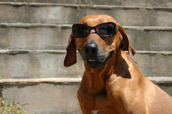 Cão de sorriso Foto de Stock Royalty Free