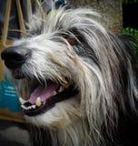 Cão de sorriso Fotografia de Stock