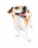 Cão de sorriso alegre Foto de Stock Royalty Free