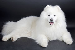 Cão de sorriso do Samoyed Foto de Stock Royalty Free