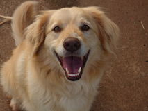 Cão de sorriso feliz fotos de stock