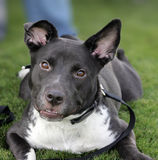 Cão de sorriso na grama Imagem de Stock