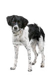 Cão de Stabyhoun Fotos de Stock Royalty Free
