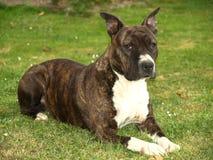 Cão de Stafford Imagem de Stock Royalty Free