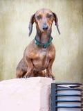 Cão de Teckel Imagem de Stock Royalty Free