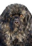 Cão de Terra Nova 1.5 anos Fotografia de Stock Royalty Free